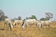 Un troupeau de vaches (image d'illustration)