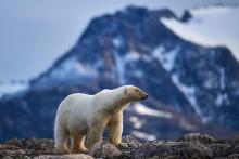 Un ours polaire en Norvège