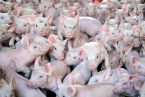 Un élevage de cochons (illustration)