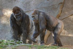 En janvier, Leslie et Imani, deux gorilles du Zoo de San Diego, ont contracté le coronavirus.