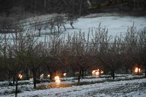 Un champ de vignes gelé à Westhoffen (Bas-Rhin), le 6 avril 2021