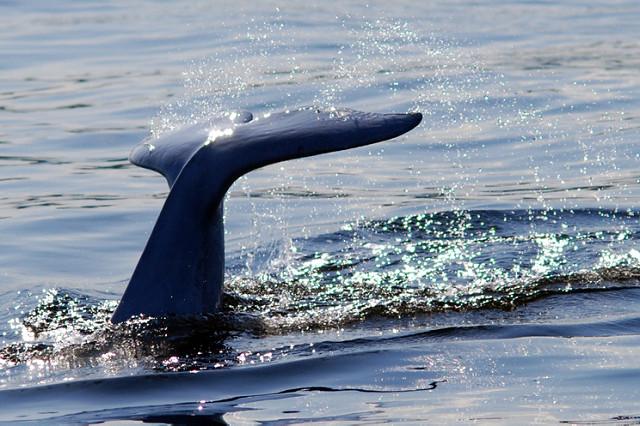La baleine bleue est l'une des espèces les plus menacées par la sixième extinction (illustration).