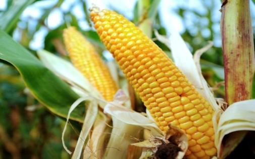 Des épis de maïs (archives)