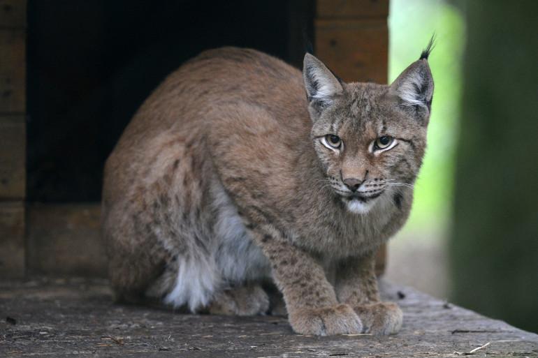 Un lynx, le 20 août 2013, en Allemagne. (archives)