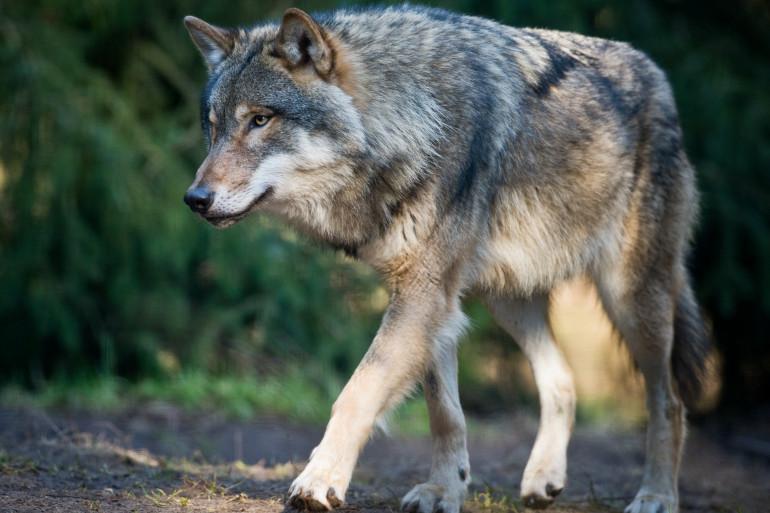 Un loup, le 24 février 2014, en Allemagne. (archives)