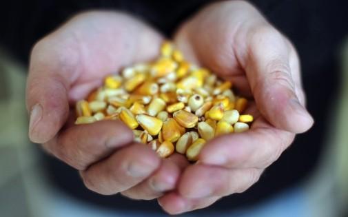 Un agriculture prend du maïs pour nourrir ses canards, le 21 novembre 2013 à Saint-Michel (illustration)