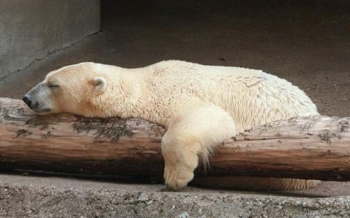 Paris : un ours polaire du zoo de Vincennes somnole