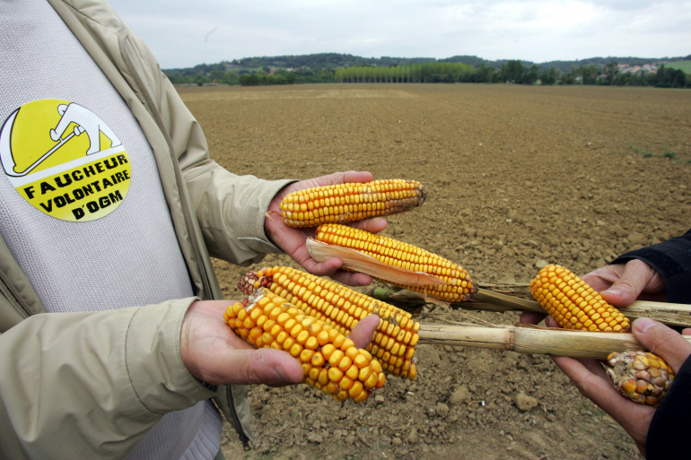 Le parlement français a définitivement interdit la culture du maïs OGM, lundi 4 mai