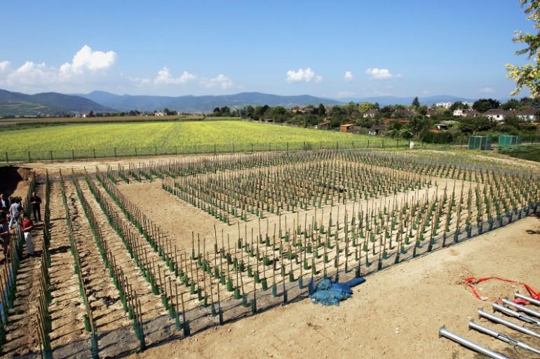 Des vignes OGM plantées par l'Inra à Colmar le 7 septembre 2005. (archives)