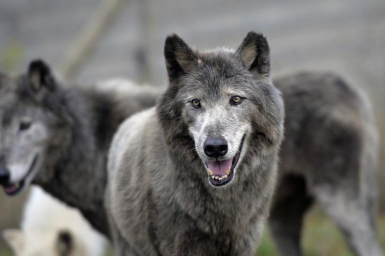 Des loups dans un parc de Villemer (Seine-et-Marne) le 18 septembre 2013. (archives)