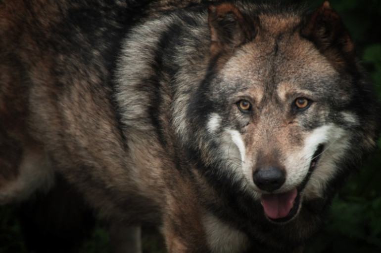 Un loup évolue en captivité en octobre 2005 au Parc de Courzieu dans le Rhône (image d'illustration).
