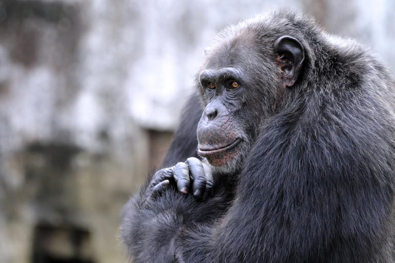 Un chimpanzé. Les scientifiques ont décrypté 66 gestes de communication chez ces singes.