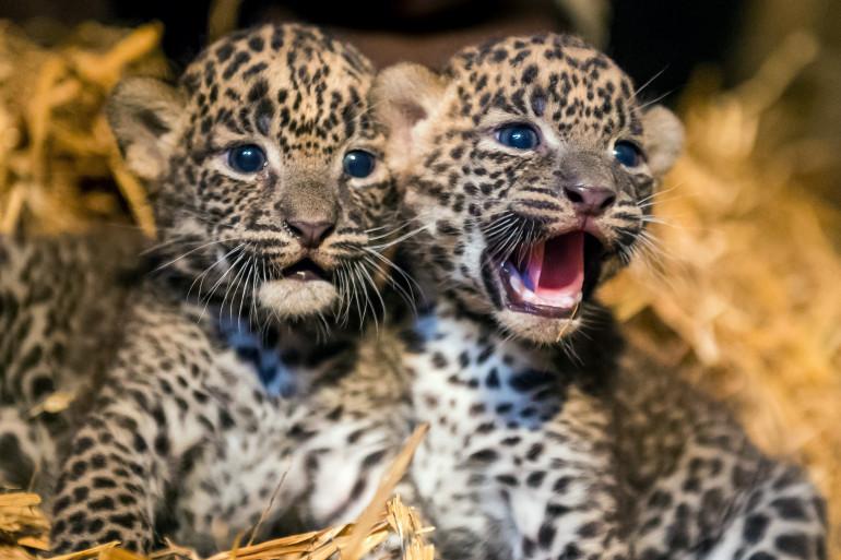Les deux bébés panthères du zoo de Maubeuge sont de petites femelles de 700 grammes chacune