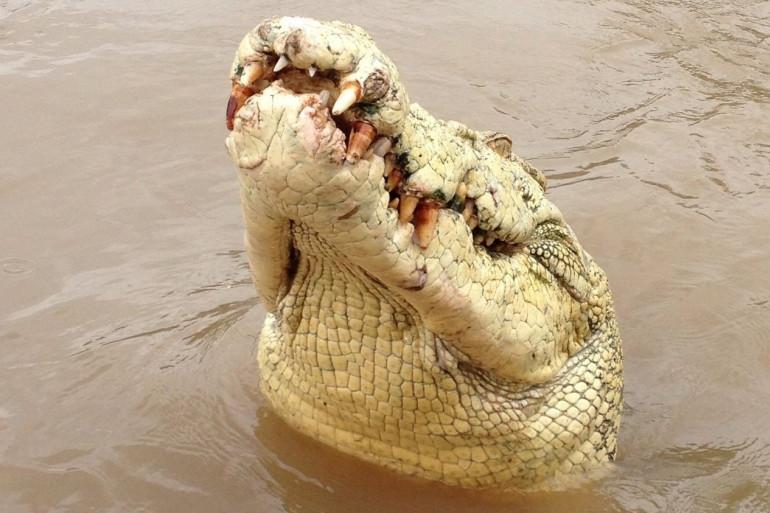Michael Jackson, le célèbre crocodile albinos australien