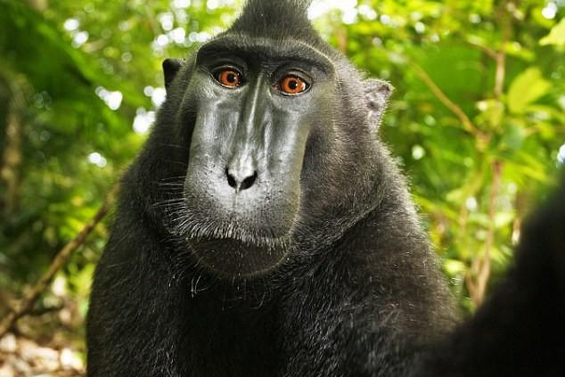 """Le """"selfie"""" d'une femelle macaque"""