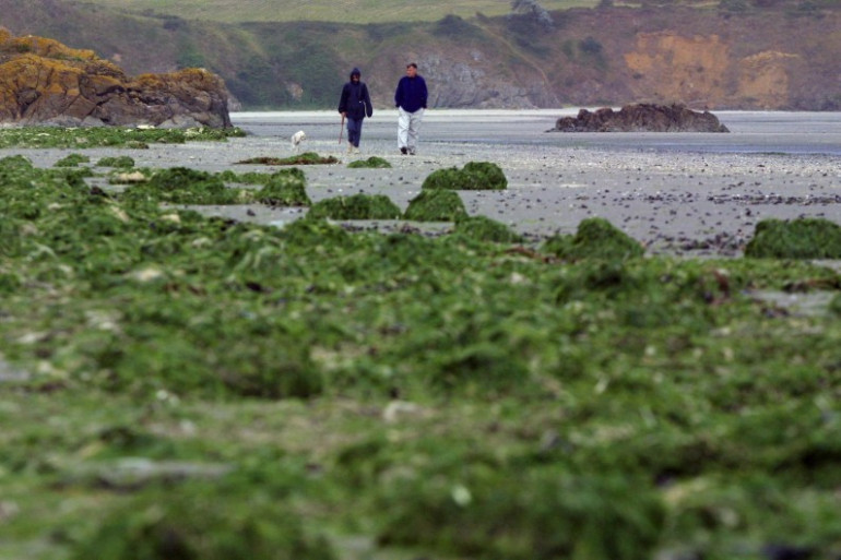 Une plage recouverte d'algues vertes, le 16 septembre 2001 près de Saint-Brieuc. La prolifération de ces algues serait due à la pollution des eaux par les nitrates (archives)