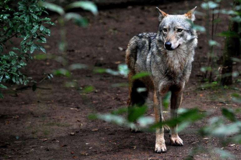 Un loup au zoo de Rome, le 20 janvier 2014. (archives)
