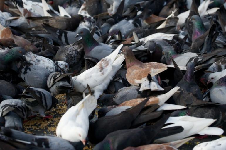 Des pigeons, en Malaisie, le 30 octobre 2013. (archives)