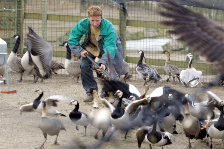 Des cas de grippe aviaire de la souche H5N2 ont été déclarés au Canada. (illustration)