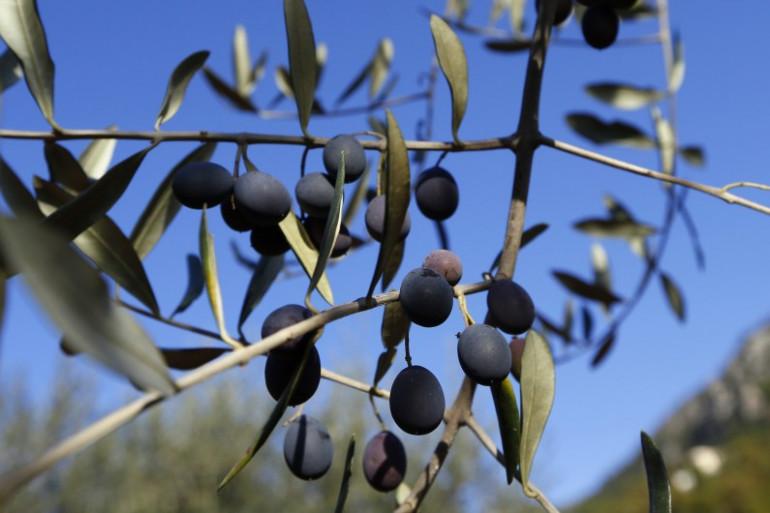Olives de Nice, à Castagniers, le 27 novembre 2013. (archives)