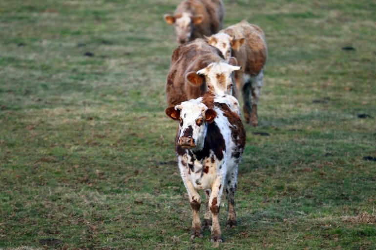 Des taureaux à Guilberville, dans le nord-ouest de la France, le 20 février 2013 (illustration)