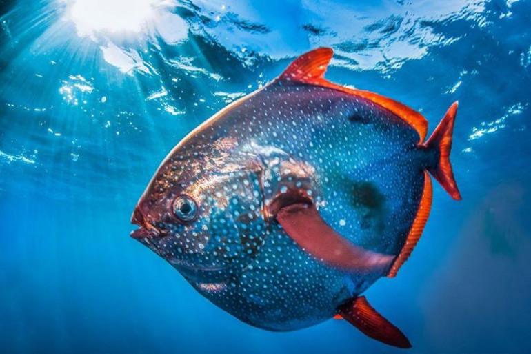 Des scientifiques découvrent le premier poisson à sang chaud