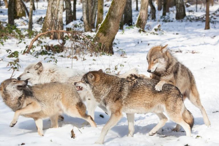Une meute de loups (illustration)