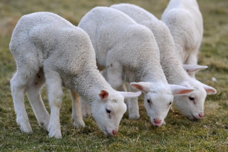 Des agneaux (illustration)