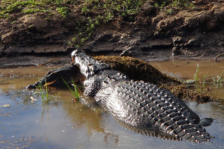 Un crocodile de cinq mètres a dévoré un de ses congénères