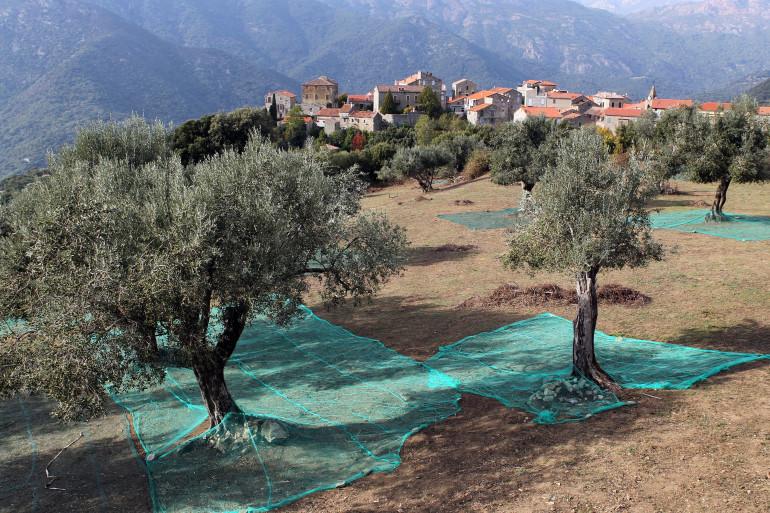 Des oliviers à Sainte-Lucie-de-Tallano (Corse-du-Sud) le 4 novembre 2014 (archive).