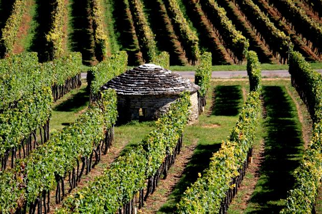 Des vignes à Nuits-Saint-Georges - Bourgogne