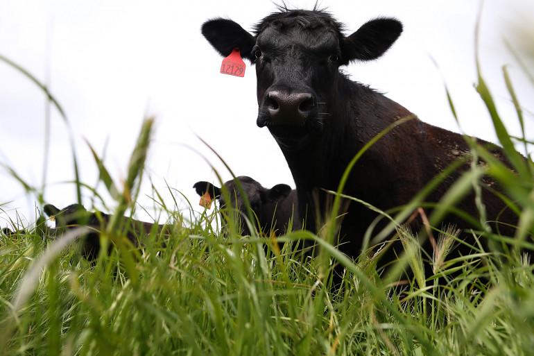 Une trentaine de bovins se sont enfuis sur l'autoroute. (illustration)