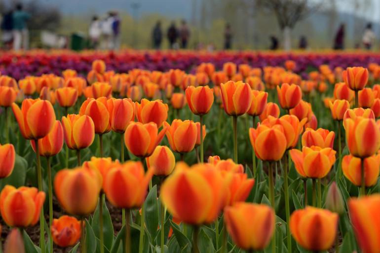 Des tulipes en Inde (Illustration)