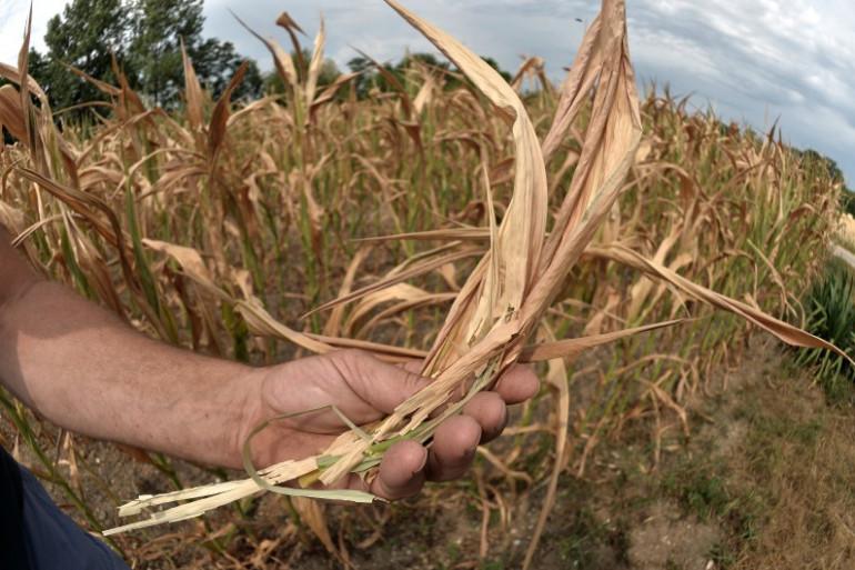 Un plant de maïs affecté par la sécheresse à Roppenhein, dans l'est de la France en juillet 2015 (illustration).