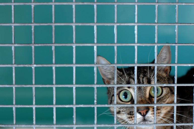 Un chat dans un refuge de la SPA (illustration).