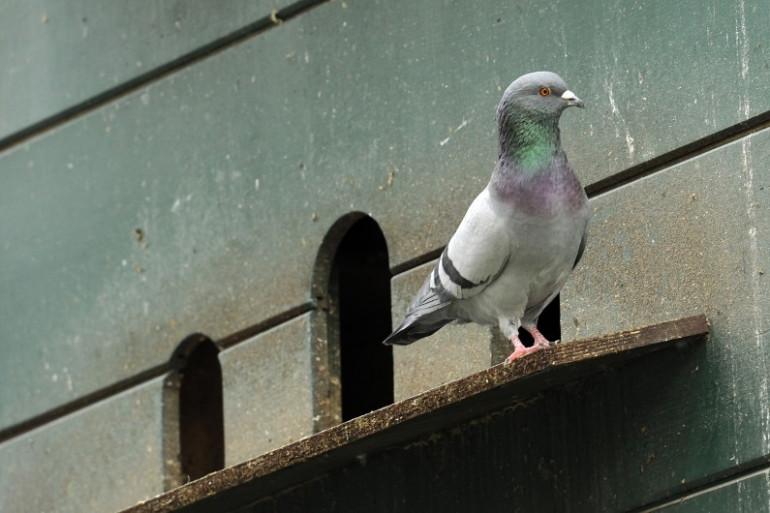 Le pigeon arrive à détecter la pollution, tout seul