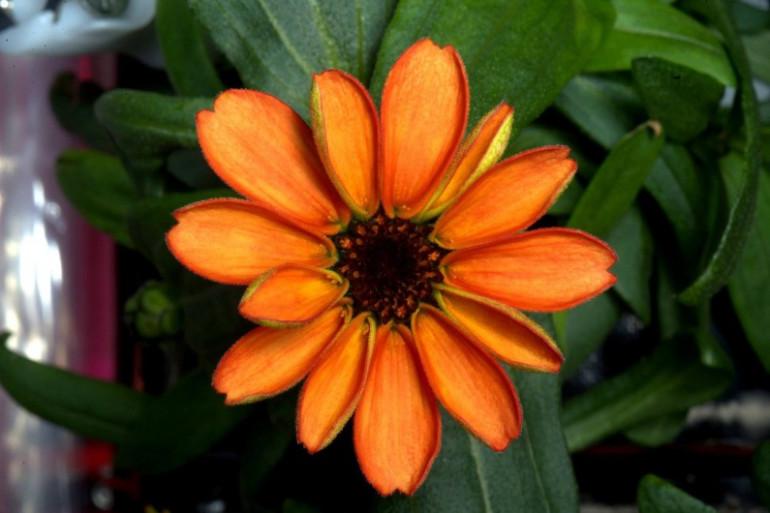 La première fleur cultivée dans l'espace a vu le jour.