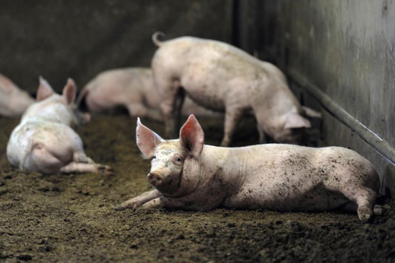Des cochons dans une porcherie (illustration)
