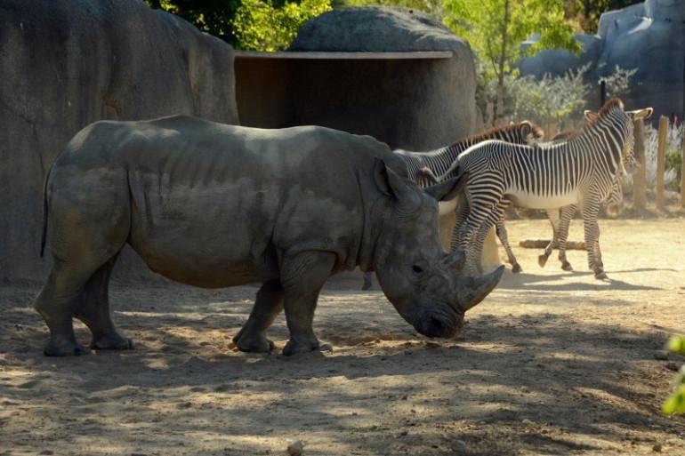 un rhinocéros au Parc zoologique de Paris (illustration)