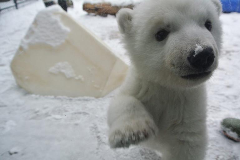 Cet ourson polaire découvre la neige pour la première fois