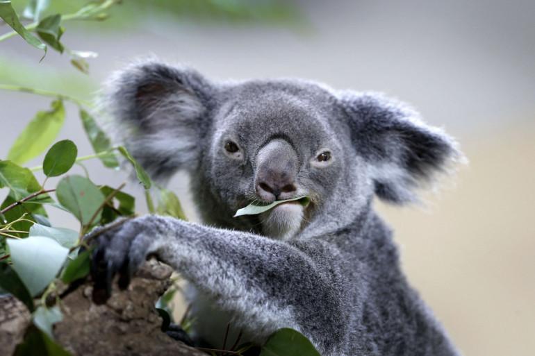 Un koala (illustration)