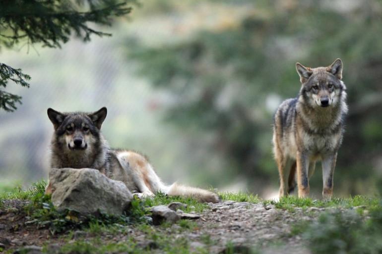 Photo de loups prise le 17 octobre 2006 à Saint-Martin-Vésubie