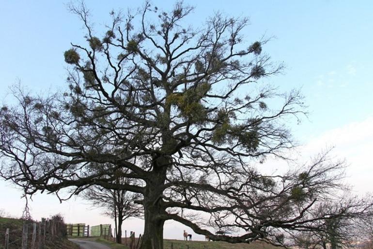 Le gui, un parasite qui vit sur de nombreux arbres