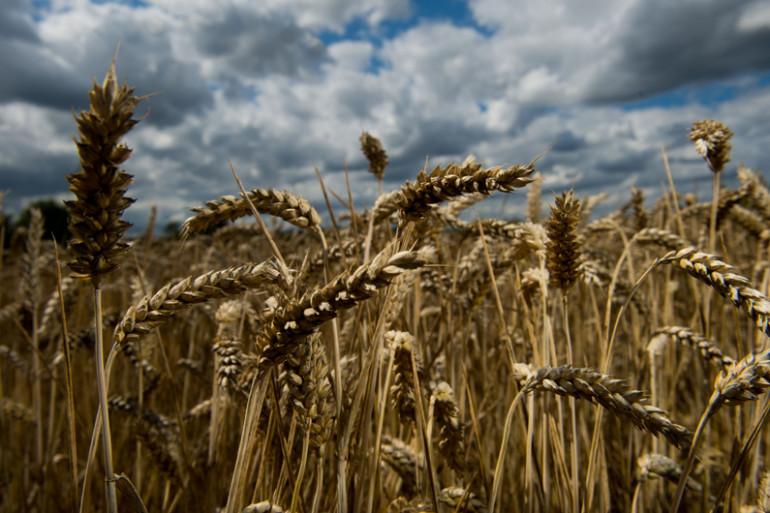 Un champs de blé (illustration)