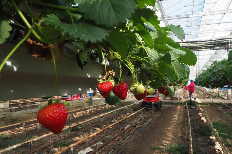 Une culture de fraises hors-sol sous serre (Illustration).