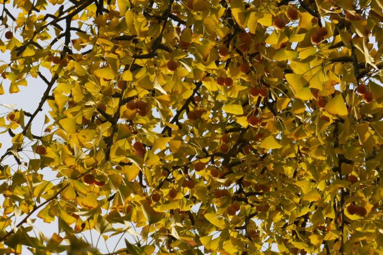Le Ginkgo biloba peut vivre plus de 1.000 ans grâce à son système immunitaire.