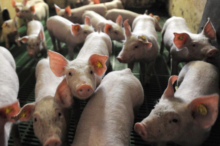 Un élevage de porcs (photo d'illustration).