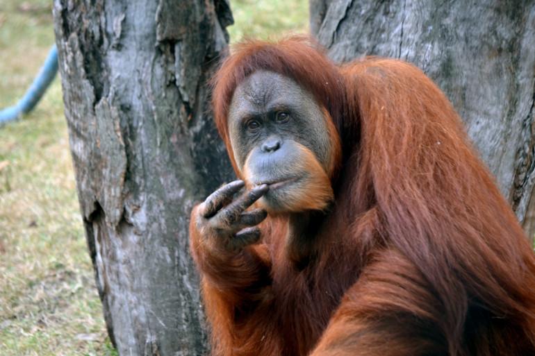 L'orang-outan de Sumatra