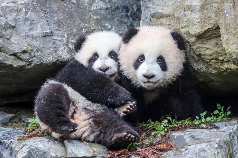 Deux bébés pandas âgés de 6 mois ont effectué leur première sortie au zoo belge de Pairi Daiza.