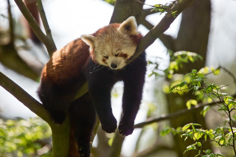 Un panda roux se repose sur une branche (illustration)